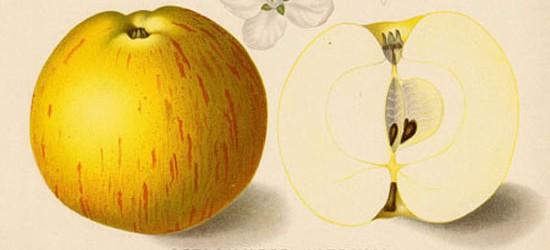 Alte Apfelsorten sind verträglicher