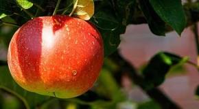 """Hilft die """"Apfelallergie-Therapie"""" wirklich?"""
