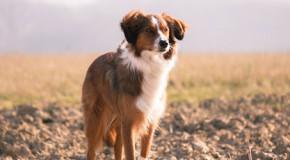 Hat mein Hund eine Fleischallergie?