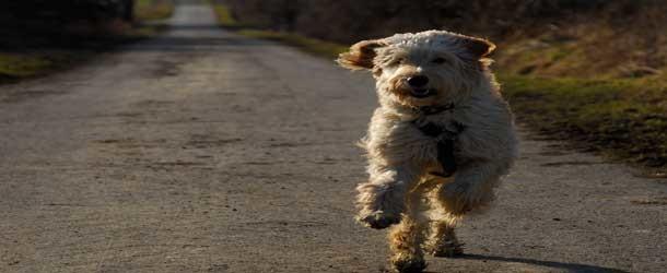 """""""Allergikerhunde"""": Wie geeignet sind Labradoodle und Co.?"""